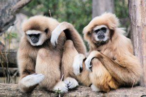 Gibbonaber på Phuket